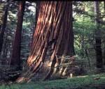 medium_redwood.jpeg